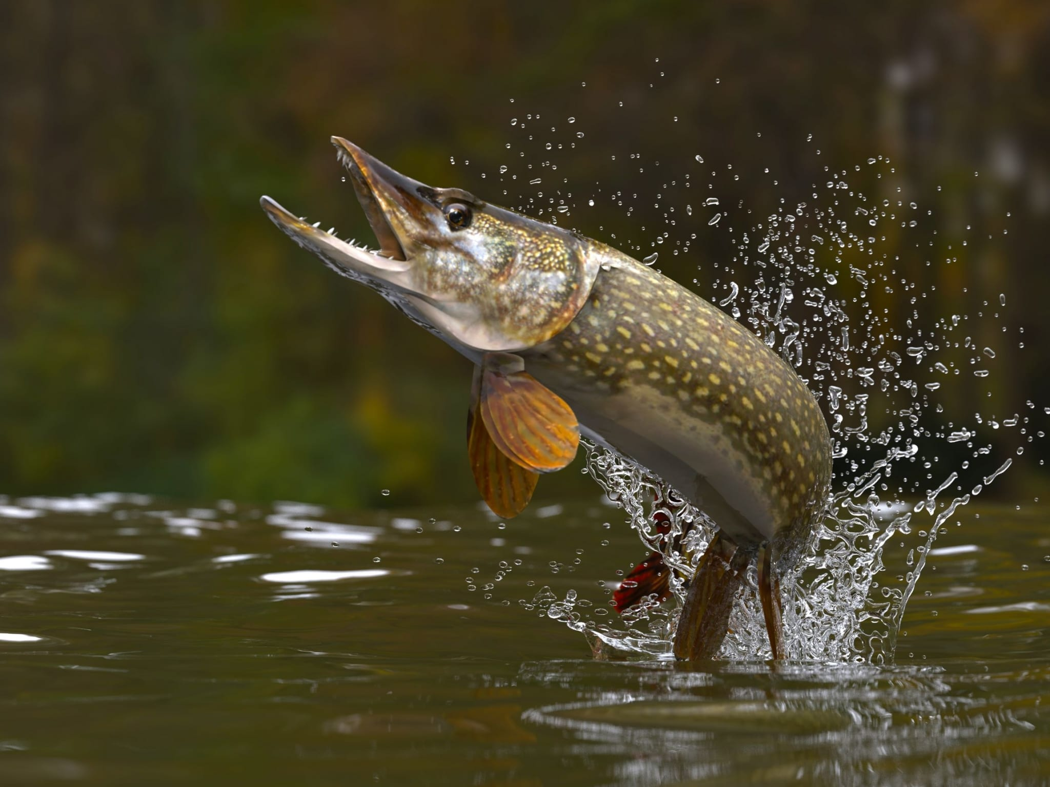 A northern pike leaps out of the water.